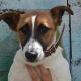 Tilt chao7889, Chiot fox terrier poil lisse à adopter