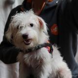 Nana, Chien fox terrier poil lisse à adopter