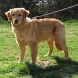 Django vaa21425, Chiot golden retriever à adopter