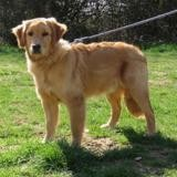 Django dit ace vaa21921, Chien golden retriever à adopter
