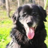 Tycoon paa19501, Chien golden retriever à adopter