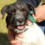 Oscar (réservé) oaa16947, Chiot griffon à adopter