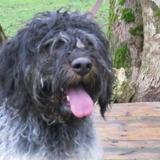 Paa18161 tobrouck, Chien griffon à adopter
