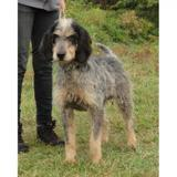 Scapin vaa20940, Chien griffon à adopter