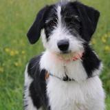 Fipo haa 22333, Chiot griffon à adopter