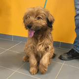 Paddington, Chiot griffon à adopter