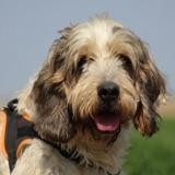 Mickey, Chien griffon à adopter