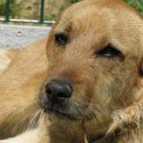 Meli, Chien griffon fauve de bretagne à adopter