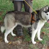 Maika, Chiot husky siberien à adopter