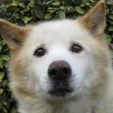 Vasco, Chien husky siberien à adopter