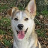 Qilak vidéo, Chien husky siberien à adopter