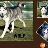 Wolf, Chien husky siberien à adopter