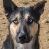 Blue, Chien husky siberien à adopter