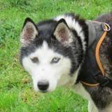 Hinata, Chien husky siberien à adopter
