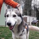 Whisky caa8522, Chien husky siberien à adopter