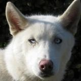 O'neige, Chiot husky siberien à adopter