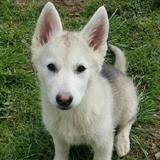 Toundra, Chiot husky siberien à adopter
