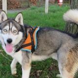Zeus, Chien husky siberien à adopter