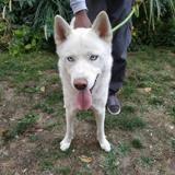 Nexus, Chien husky siberien à adopter