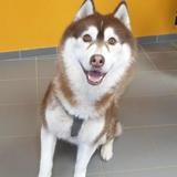 Garik, Chien husky siberien à adopter