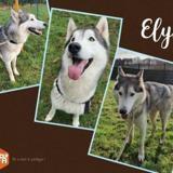 Elyos, Chien husky siberien à adopter