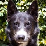 Willa, Chien husky siberien à adopter