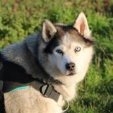Jessie haa22887, Chien husky siberien à adopter