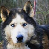 Jango, Chien husky siberien à adopter