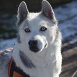 Hourkan, Chien husky siberien à adopter