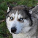 Taiko, Chien husky siberien à adopter