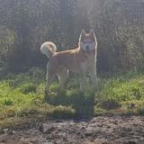 Boston , Chien husky siberien à adopter