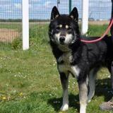 Sahale , Chien husky siberien à adopter