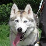 Nouchka, Chien husky siberien à adopter