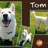 Tom , Chiot husky siberien à adopter