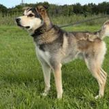 Artic, Chien husky siberien à adopter