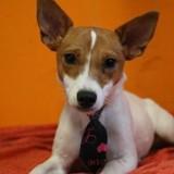 Kasie haa20354, Chiot jack russel terrier à adopter