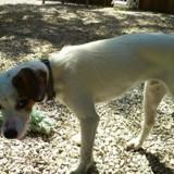 Bucky, Chiot jack russel terrier à adopter
