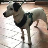 Ivoire, Chien jack russel terrier à adopter