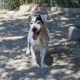 Baya, Chien jack russel terrier à adopter