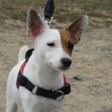 Fonzie, Chien jack russel terrier à adopter