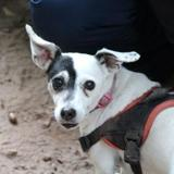 Eva, Chiot jack russel terrier à adopter
