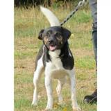 Ops vaa20944, Chien jack russel terrier à adopter