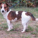 Bone vaa21044, Chiot jack russel terrier à adopter