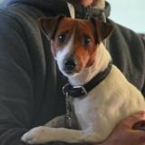Milou, Chien jack russel terrier à adopter