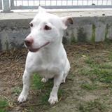 Louna, Chien jack russel terrier à adopter