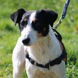 Koda haa22315, Chien jack russel terrier à adopter
