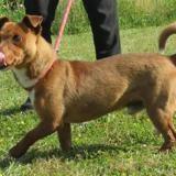 Oakland vaa21715, Chien jack russel terrier à adopter
