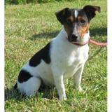 Stralton vaa21717, Chiot jack russel terrier à adopter