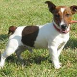Portland vaa21718, Chiot jack russel terrier à adopter