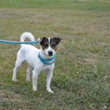 Dust, Chien jack russel terrier à adopter